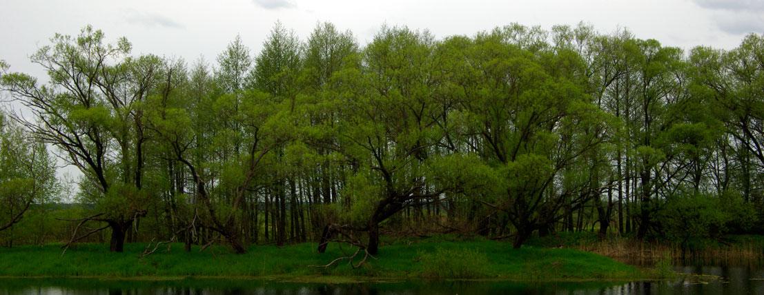 Première plantation de radios dentaires dans le sol contaminé de la forêt de Chevtchenkovo.